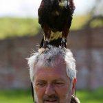 Bob-the-Harris27-hawk
