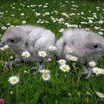 Daisycutters-young-gyrfalcons