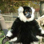 Ruffed-Lemur-Gallery-2